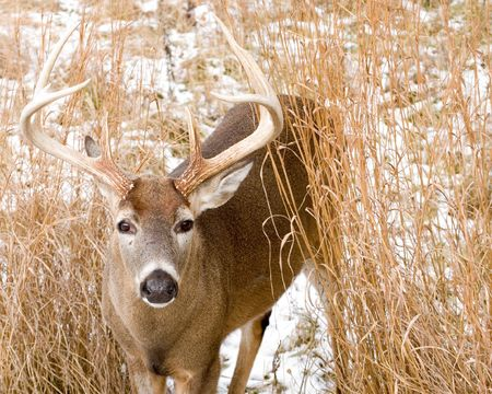 A whitetail deer buck standing in the snow. Stock Photo - 4017785