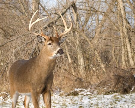 whitetail buck: A whitetail deer buck standing in the snow. Stock Photo