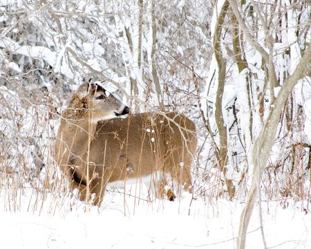 A whitetail deer buck without antlers standing in the woods in winter snow. photo