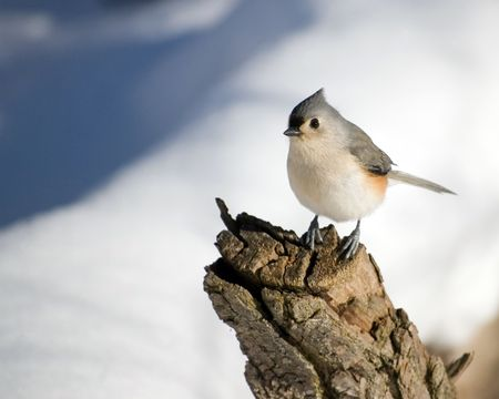 titmouse: A tufted titmouse perched on a tree stump in the winter.