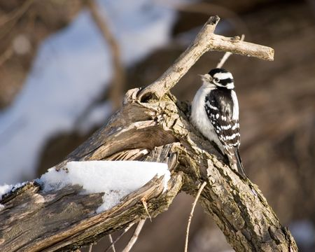 downy: A downy woodpecker perched on a tree. Stock Photo