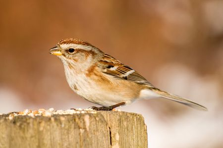 birdwatching: An American tree sparrow perched on a wooden post with bird seed.