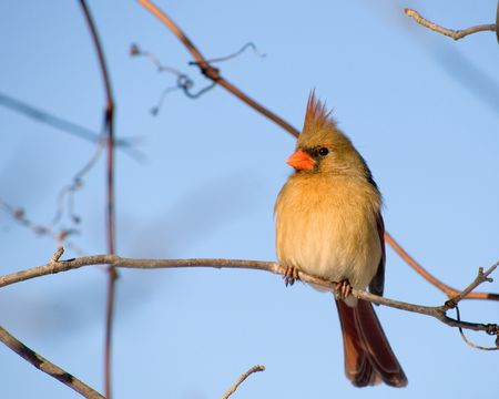 A female northern cardinal perched on a tree branch.