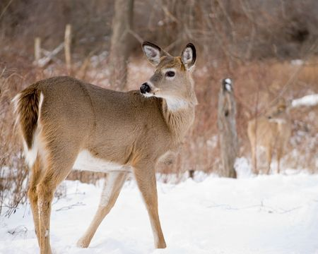 A whitetail deer button buck standing in the snow.