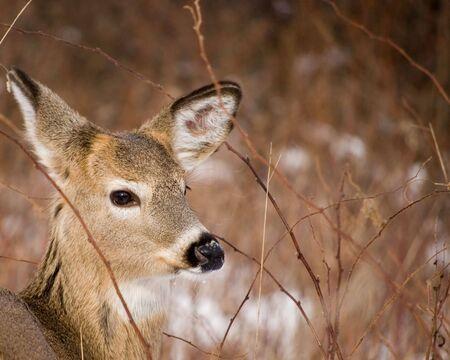 A closeup head shot of a whitetail deer button buck. Stock Photo - 4082055