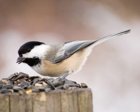 birdwatching: A black-capped chickadee perched on a wooden post with bird seed.