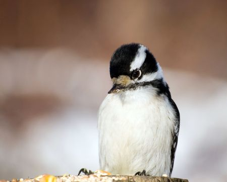 A downy woodpecker perched on a post looking at bird seed.