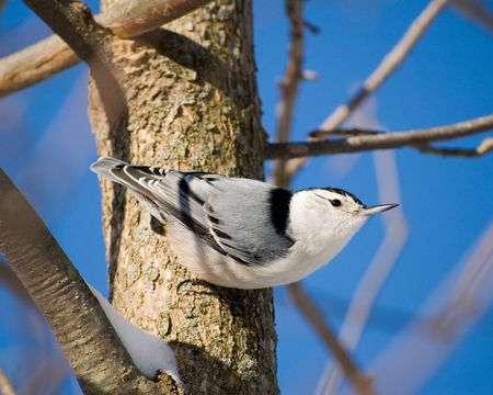 birdwatching: A white-breasted nuthatch perched on a tree trunk.