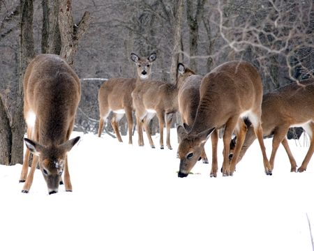 A herd of whitetail deer does browsing for food in the winter snow.