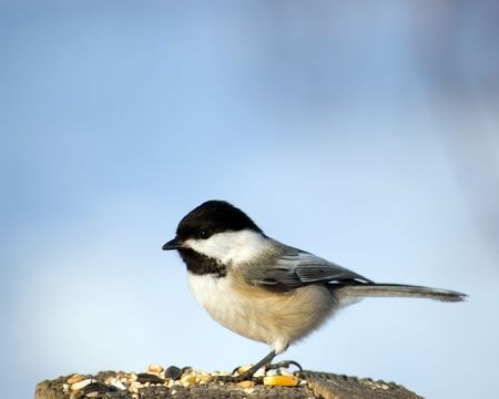 perched: A black-capped chickadee perched on a wooden post. Stock Photo