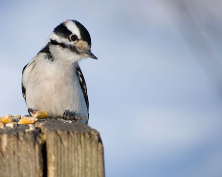 A male downy woodpecker perched on a wooden post. Stock Photo