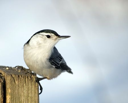 birdwatching: A white-breasted nuthatch perched on a wooden post.