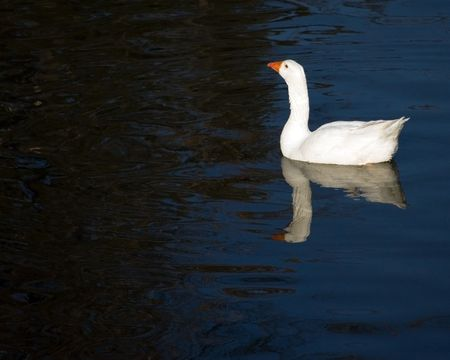 A domestic goose swimming in a pond. Stock Photo