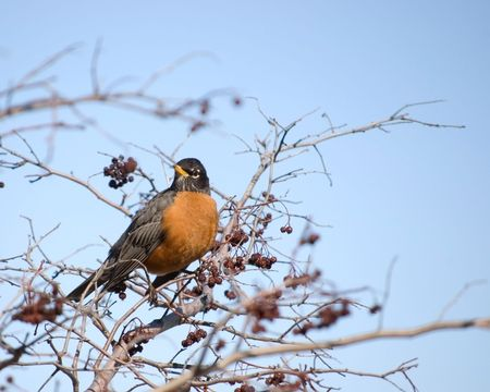 An american robin perched in a tree.