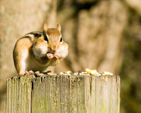 An eastern chipmunk eating bird seed while perched on a wooden post. Stock Photo