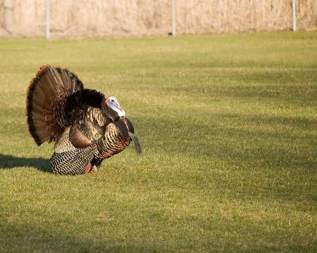 A wild turkey strutting on the grass. Stock Photo