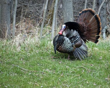 A wild turkey strutting at the woods edge. Stock Photo