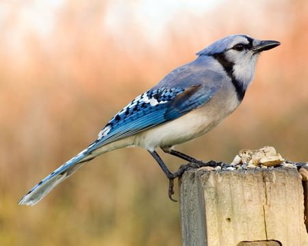 bluejay: A blue jay perched on a wooden post.