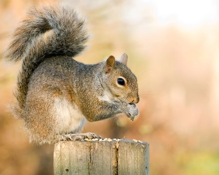 A grey squirrel perched on a post eating bird seed.
