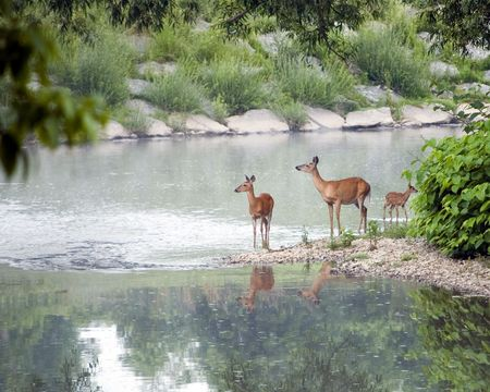 Two whitetail deer does and a fawn standing in a small stream in early morning light.