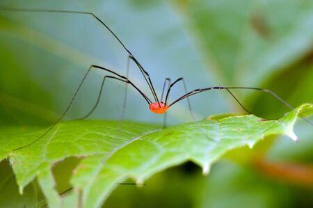 longlegs: Daddy longlegs spider perched on a plant leaf.