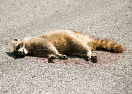 A dead raccoon in the middle of the road.