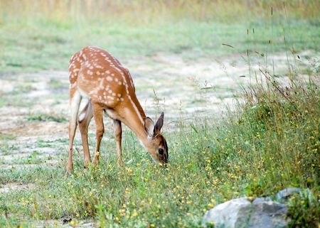 A whitetail deer fawn browsing in a field. Фото со стока