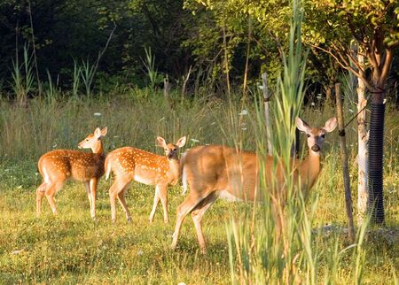 A whitetail deer doe with two fawns at the edge of the woods. Фото со стока