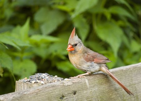female cardinal: A female cardinal perched on a park bench eating bird seeds.