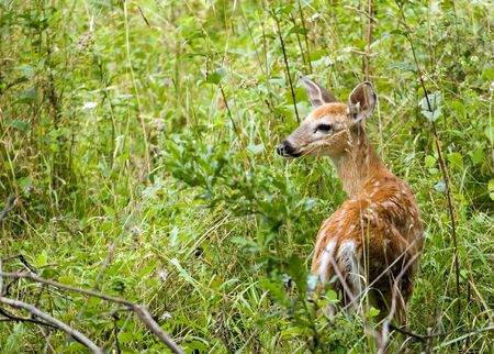 A whitetail deer fawn standing in a field.
