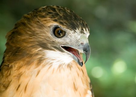 redtail: A close-up head shot of a red-tail hawk Stock Photo