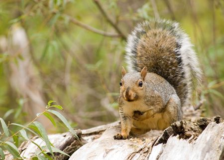 A grey squirrel perched on a tree eating bird seed.