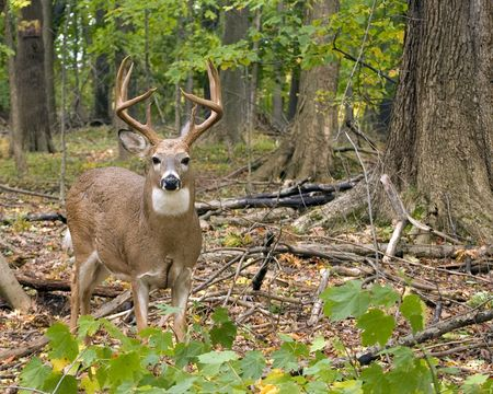 whitetail buck: A whitetail deer buck standing in the woods at the beginning of the rutting season. Stock Photo