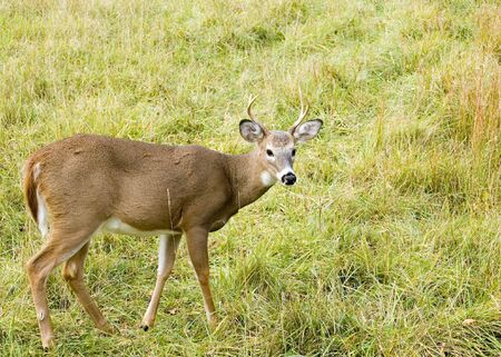 A whitetail deer buck standing in a field. photo