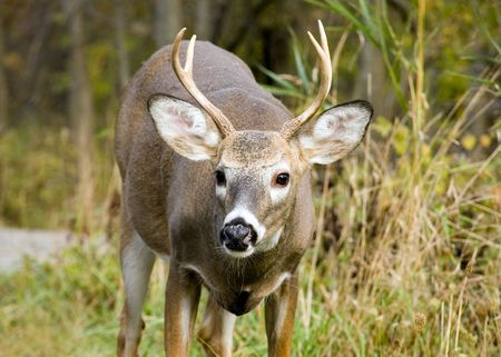A close-up head shot of a young whitetail deer buck. Stock Photo