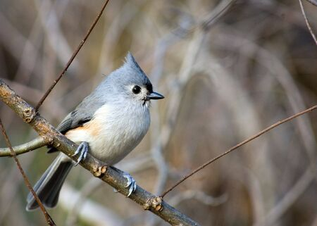 A tufted titmouse perched on a tree branch. Stock Photo - 5749085
