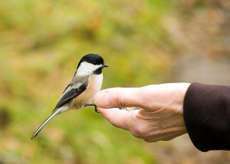 A Chickadee perched on a womans hand eating bird seed. Stock Photo