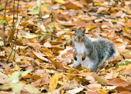 A gray squirrel standing among fall leaves. Stock Photo