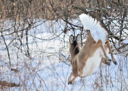 Whitetail deer doe running in the woods in the winter snow, photo