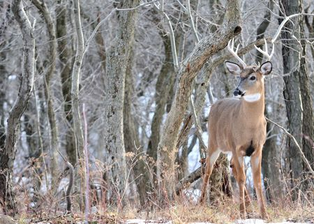 A whitetail deer buck standing in the woods. photo