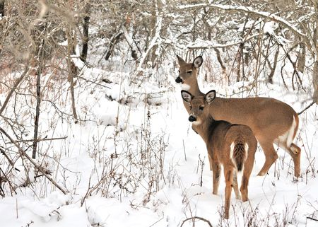 A whitetail deer doe with her yearling standing in the woods in winter snow. Stock Photo