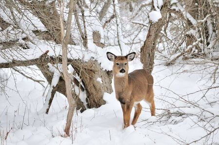 A young whitetail deer doe standing in the snow  photo
