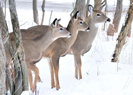 Three whitetail deer standing in winter snow in the woods. Banco de Imagens