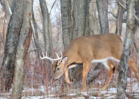 Whitetail buck picking up a scent during the rutting season in the woods.