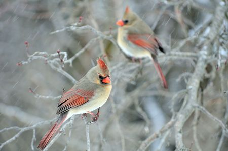 cardinal bird: Two female cardinals perched on a tree branch while its snowing. Stock Photo
