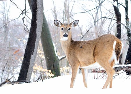 Whitetail deer doe standing in the woods with winter snow. Stock Photo
