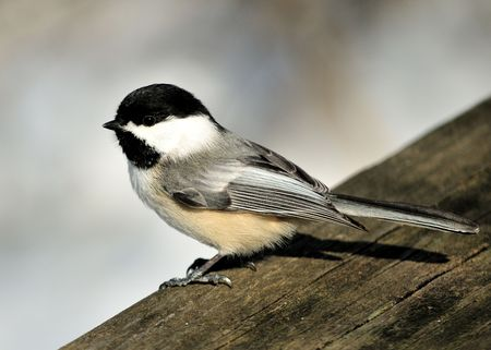 perched: A black-capped chickadee perched on a wooden rail. Stock Photo