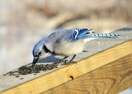 A blue jay perched on a wooden rail with bird seed. Stock Photo