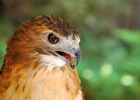 A Red-tailed hawk close-up head shot.
