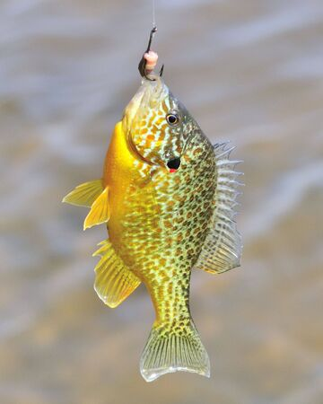 A freshwater sunfish caught on a fish hook. Stock Photo - 6872095